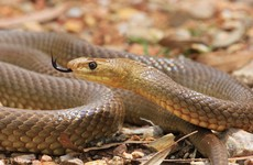 Young girl dies after snake bite in Australia