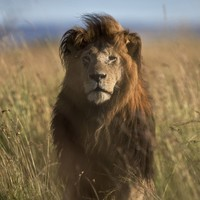 Six lions are roaming around a residential area in Kenya