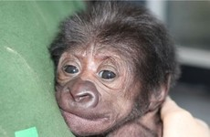 VIDEO: Baby gorilla born after a rare C-section