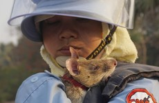 Photos: Clever rats sniffing out Cambodia's vast minefields