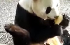 This panda REALLY doesn't want to share his food