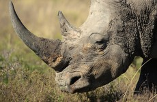 Irish crime gang face jail after trying to steal €73 million worth of rhino horns and other artefacts