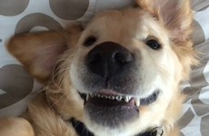 This puppy got braces on his teeth and it's the cutest thing ever