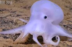 This strange new species of Octopus has been nicknamed 'Casper'