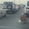 Tiger spotted roaming through traffic in the Middle East