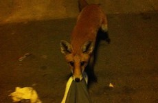 A man passed out drunk at a bus stop... and woke up to find a fox chewing his trousers
