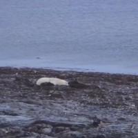 Webcam brings polar bears into your living room