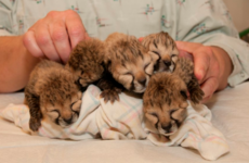 Take a break and watch these cheetah cubs recover after being born by C-section