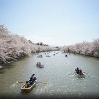 The cherry blossoms are in bloom - it must be spring