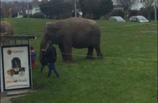 There were three elephants just lounging on a green in Tallaght today