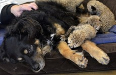 A dog has adopted five cheetah cubs who just lost their mother, and it's adorable