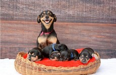 The dog that sat for THAT maternity photo shoot had adorable puppies