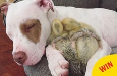 This rescue dog adopted two ducklings and they're now internet darlings