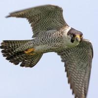Peregrine falcon found dead at Dalkey Quarry