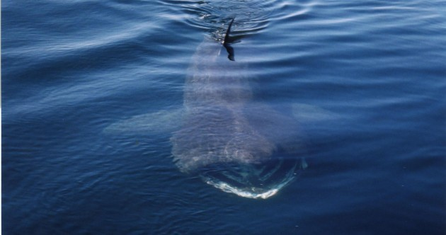 Twenty basking sharks spotted off coast of Clare