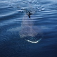 Twenty basking sharks spotted off coast of Clare