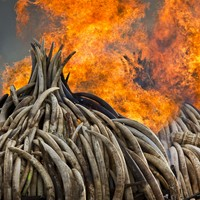The world's biggest ivory bonfire is happening right now