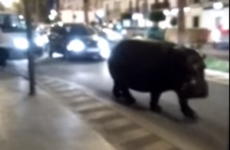 Hippo escapes from circus, takes a stroll down busy Spanish street