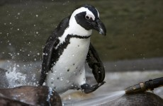 'Gay penguins' separated at Toronto zoo