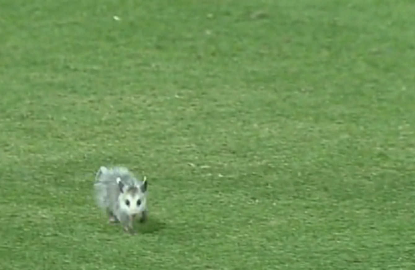 College baseball player bravely confronts baby opossum pitch