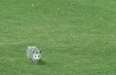 College baseball player bravely confronts baby opossum pitch-invader... then chickens out