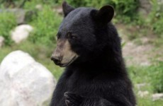 Woman fends off black bear… with a courgette