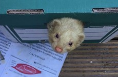 'Gary' the pet ferret got lost in Stoneybatter and made lots of new friends
