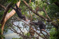How one rescued chimp inspired an entire 100-acre sanctuary