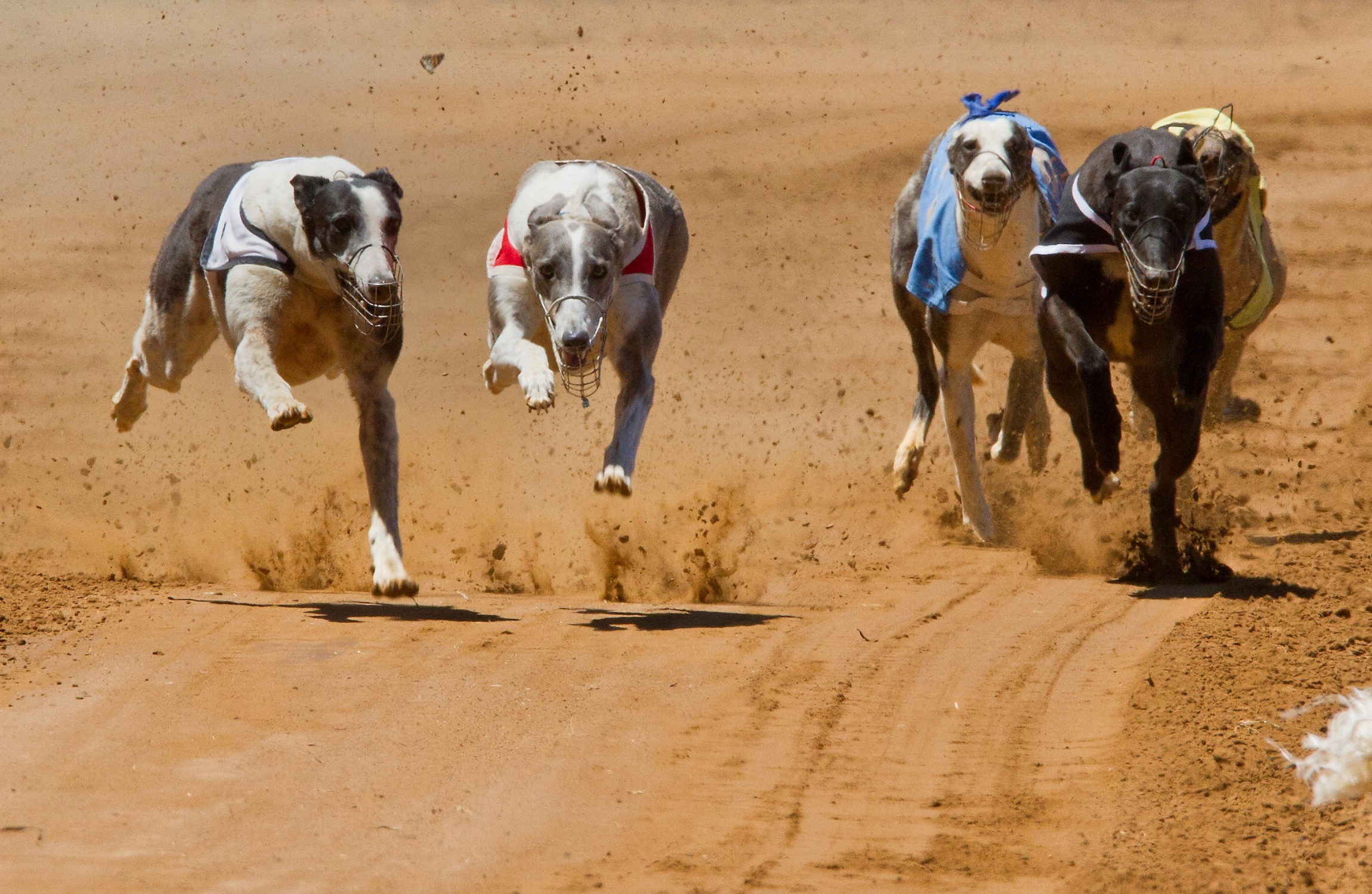 Animal welfare groups are calling for greyhound breeding to be limited to protect dogs.