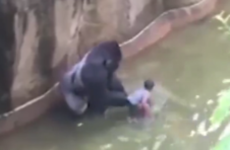 Zoo officials shoot gorilla dead after four-year-old boy falls into enclosure