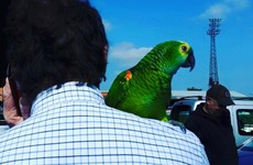 A talking parrot has been found 'hiding' in a Dublin football stadium