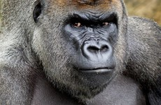 Harry, the leader of Dublin Zoo's gorilla troop, has died from an unknown illness