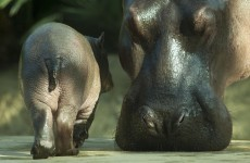 South African farmer killed by pet hippo that was 'like a son' to him
