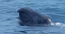 This strange-looking Arctic whale has popped up in Irish waters for the first time