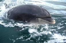 Dingle dolphin Fungie recovering from 'deep gash' in back