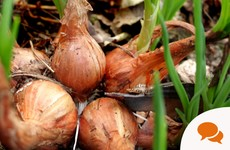 Thanks shallot - these little members of the onion family are finicky, but worth it