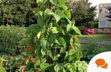 Give your garden a running start: here's how to tame runner beans
