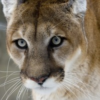 Mum saves boy (5) from being mauled by mountain lion