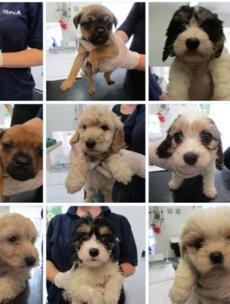 Twenty Irish bred puppies found crammed in car boot