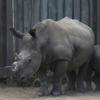 Head of Zimbabwe wildlife authority suspended after rhino horns go missing