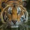 Tiger attacks and kills zookeeper in its cage