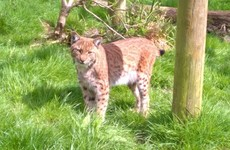 Extensive search underway for lynx which broke loose from Devon Zoo