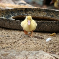 What do you mean by 'bird-brain'? Baby ducks can actually learn differences between objects