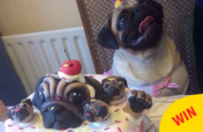 This photo of a little Irish pug's birthday party is ridiculously cute