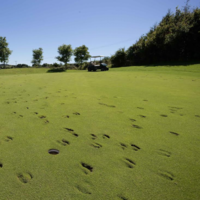 Herd of cattle stampeded through a Clare golf course, destroying 10 of its greens