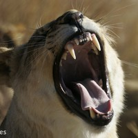 New study shows tigers, lions and other carnivores becoming endangered as prey dwindles