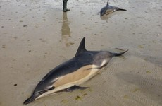 Two dolphins die after becoming stranded off the coast of Mayo