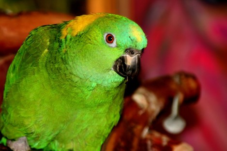 This is not Captain but a parrot of similar colouring to the lost bird.