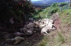 Almost 40 sheep killed in dog attack on west Kerry farm