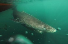 A 400-year-old Greenland shark has been found to be the world's oldest vertebrate